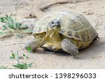Stock photo the russian tortoise agrionemys horsfieldii also commonly known as the afghan tortoise the 1398296033