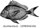 scup is a fish common in the... | Shutterstock .eps vector #1398346106