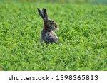Stock photo hare sitting in green field shot in region moravia in czech republic 1398365813