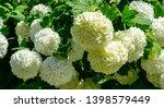 soft focus of beautiful white... | Shutterstock . vector #1398579449