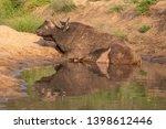 african buffalo basking in the... | Shutterstock . vector #1398612446