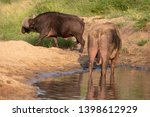 african buffalo by the water ... | Shutterstock . vector #1398612929
