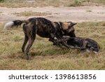rare sighting of african wild... | Shutterstock . vector #1398613856
