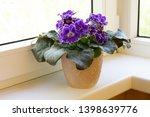 Blooming Purple African Violet...