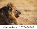 Portrait Of A Lion Male With...