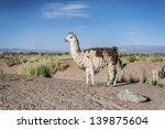 Llama In Salinas Grandes Salt...