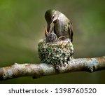 Hummingbird Feeding Baby In Th...