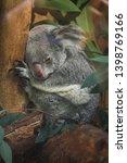 queensland koala  phascolarctos ... | Shutterstock . vector #1398769166
