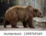 brown bear  ursus arctos . wild ... | Shutterstock . vector #1398769169