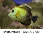 brown tang  zebrasoma scopas  ... | Shutterstock . vector #1398772730