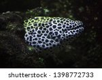 laced moray  gymnothorax... | Shutterstock . vector #1398772733