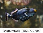 clown triggerfish  balistoides... | Shutterstock . vector #1398772736