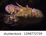 mediterranean slipper lobster ... | Shutterstock . vector #1398772739