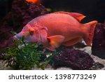 barred hogfish  bodianus scrofa ... | Shutterstock . vector #1398773249