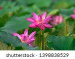 blooming lotus flowers in the...   Shutterstock . vector #1398838529