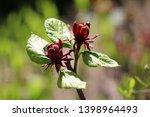 sweetshrub or calycanthus... | Shutterstock . vector #1398964493