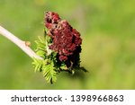 staghorn sumac or rhus typhina... | Shutterstock . vector #1398966863