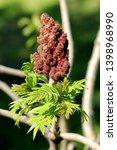 fresh green leaves of staghorn... | Shutterstock . vector #1398968990
