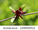 branch of sweetshrub or... | Shutterstock . vector #1398969923