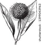 cephalanthus is flowering plant.... | Shutterstock .eps vector #1399043963