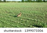 Stock photo wild hare is running on green field at sunset time 1399073306