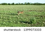 Stock photo wild hare is running on green field at sunset time 1399073333