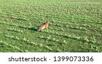 Stock photo wild hare is running on green field at sunset time 1399073336
