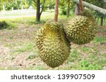durian  king of fruit | Shutterstock . vector #139907509