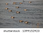 Egyptian Geese On The Water On...