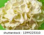 white viburnum flowers in the... | Shutterstock . vector #1399225310