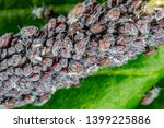 aphid on a plant in garden  ... | Shutterstock . vector #1399225886