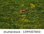 hare sitting low in meadow in...   Shutterstock . vector #1399307843