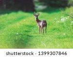 roebuck on forest pathway in...   Shutterstock . vector #1399307846