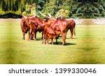 Bull Herd On Pasture Grazing....