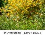yellow kerria japonica... | Shutterstock . vector #1399415336