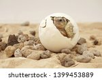 Stock photo africa spurred tortoise are born naturally tortoise hatching from egg cute portrait of baby 1399453889