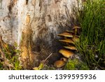 fungi mushrooms growing out of... | Shutterstock . vector #1399595936