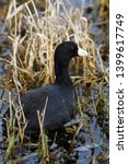 American Coot In The Marshland