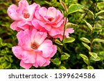 a bush of pink roses in the... | Shutterstock . vector #1399624586