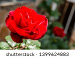 red rose in the garden on a... | Shutterstock . vector #1399624883