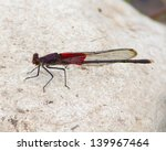Small photo of A mature male American Rubyspot damselfly (Hetaerina americana) perched on a rock in the South Llano River near Junction (Kimble County), Texas