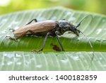 giant fijian longhorn beetle... | Shutterstock . vector #1400182859