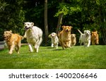 Stock photo a group of playful pedigreed golden retriever dogs are running towards the camera in a green park 1400206646