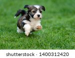 Stock photo cute little havanese puppy dog is running in the grass 1400312420