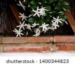 Wild Jasmine Of Southern Afric...