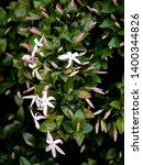 Wild Jasmine Of Southern Africa