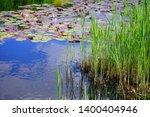 young acorus   cattail bush.... | Shutterstock . vector #1400404946