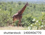 beautiful big male giraffe ... | Shutterstock . vector #1400406770