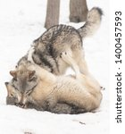 Portrait photo of two grey wolves fighting / playing with each others in the snow. The pack leader is on top biting the other one
