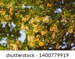 Flowering Linden Tree With...